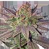 MSNL Fruity Pebbles Feminized Cannabis Seeds