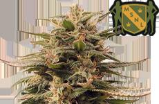 MSNL Harlequin Feminized Cannabis Seeds