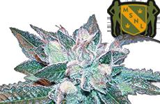 MSNL Hash Plant Feminized Seeds