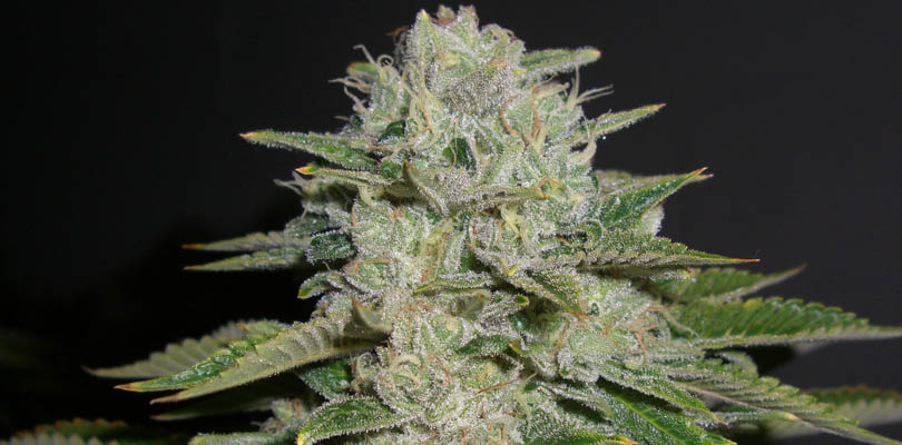 MSNL Headband OG Feminized Seeds