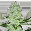 MSNL Jack Herer Feminized Cannabis Seeds
