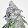 MSNL Neville's Haze Feminized Cannabis Seeds