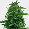 MSNL OG Kush Fast Flowering Cannabis Seeds