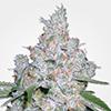 MSNL Pure Power Plant Feminized Cannabis Seeds