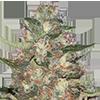 MSNL Purple Punch Cannabis Seeds