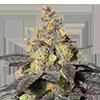 MSNL Purple Urkle Feminized Cannabis Seeds