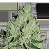 MSNL Sour Diesel Feminized Cannabis Seeds