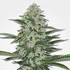 MSNL THC Bomb Feminized Cannabis Seeds