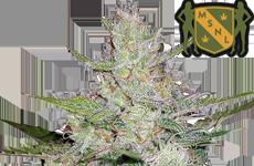 MSNL Tangerine Dream Autoflower Seeds