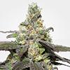 MSNL Wedding Cake Feminized Cannabis Seeds