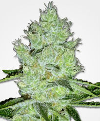 Jack Herer Feminized Seeds