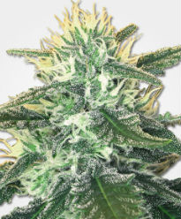 White Widow Max Feminized Seeds
