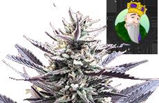 Mango Kush Feminized Seeds Crop King Seeds
