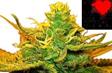 Mango Kush Feminized Seeds ILGM