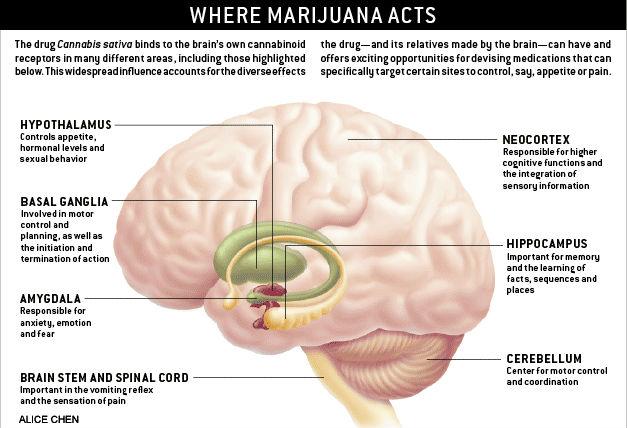 Where Marijuana Acts on the Brain