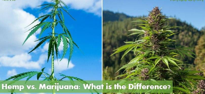 Hemp vs. Marijuana