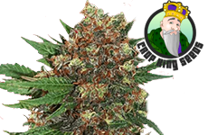 Master Kush Feminized Seeds Crop King Seeds