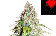 Master Kush Feminized Seeds ILGM
