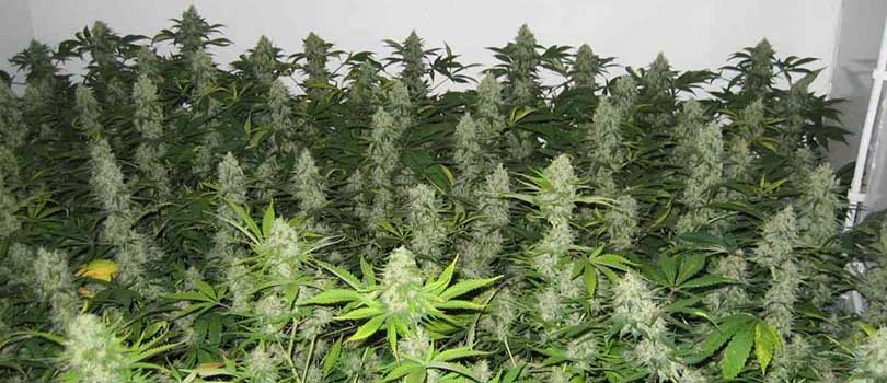 Master Kush Seeds Strain Description