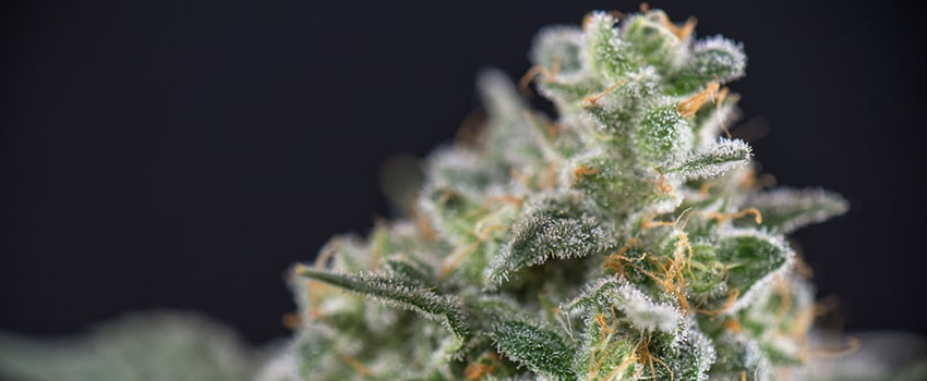 Maui Wowie Seeds Strain Description