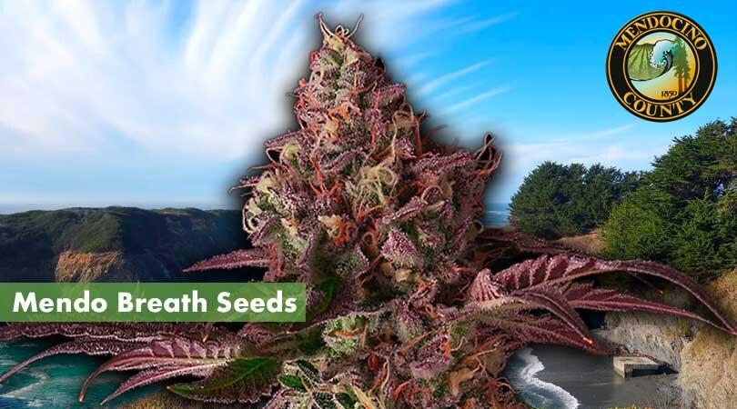 Mendo Breath Seeds Cover Photo