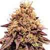 Mimosa Feminized Cannabis Seeds