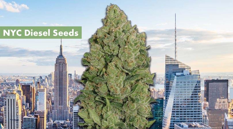 NYC Diesel Seeds Cover Photo