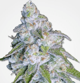 Best Weed Strains of 2019 | 10Buds Cannabis Growing Guide
