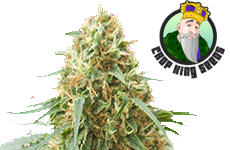 Northern Lights Feminized Seeds CKS