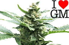 Northern Lights Feminized Seeds ILGM
