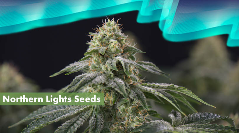 Northern Lights Seeds Cover Photo