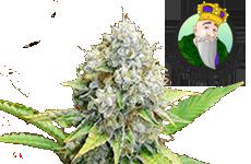 OG Kush Feminized Seeds CKS