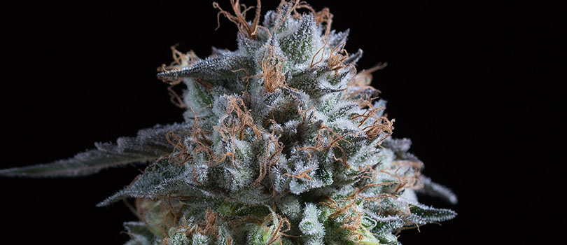 Obama Kush Seeds Strain Description