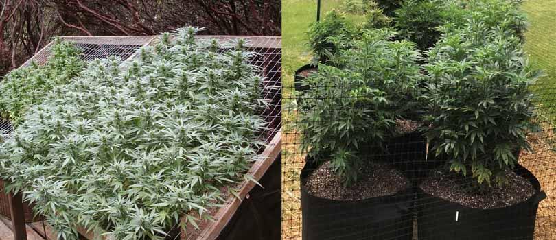 Outdoor Cannabis Garden Spacing