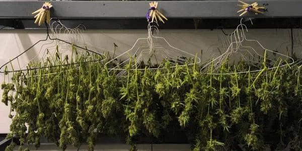 Outdoor Cannabis Grow Harvest