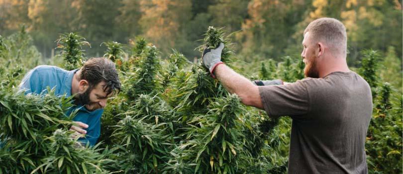 Outdoor Marijuana Garden Benefits