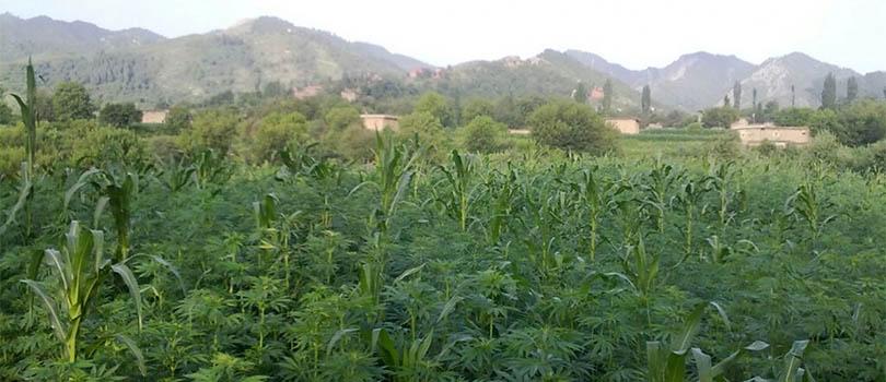 Pakistan Tirah Valley Cannabis