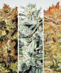 Paradise Seeds Indica Pack