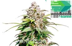 Pineapple Express Feminized Seeds Weedseedsexpress