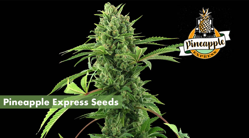 Pineapple Express Seeds Main Photo