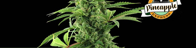 Pineapple Express Seeds Featured Image