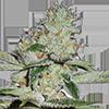 Pineapple Kush Automatic Cannabis Seeds