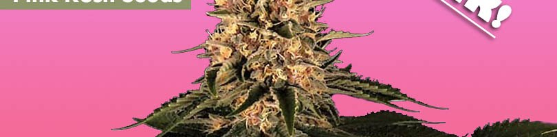 Pink Kush Seeds Featured Image