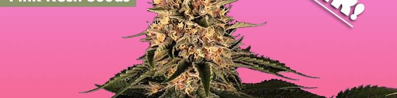 Pink Kush Seeds Featured Image