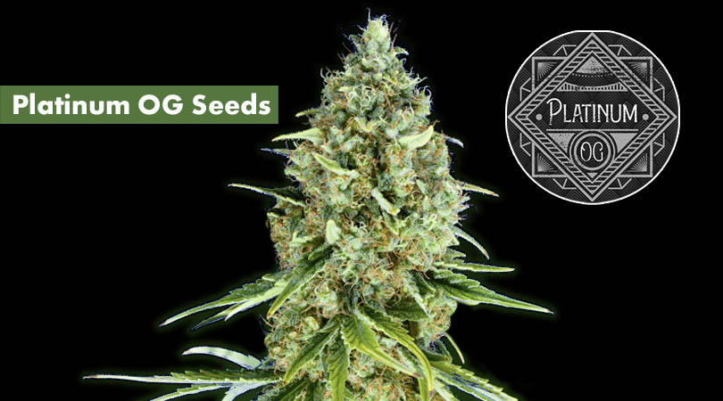 Platinum OG Seeds Cover Photo