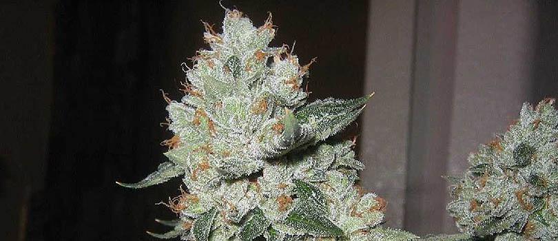 Platinum OG Seeds Strain Description