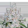 Power Plant Feminized Cannabis Seeds