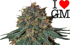 Purple Haze Feminized Seeds I Love Growing Marijuana
