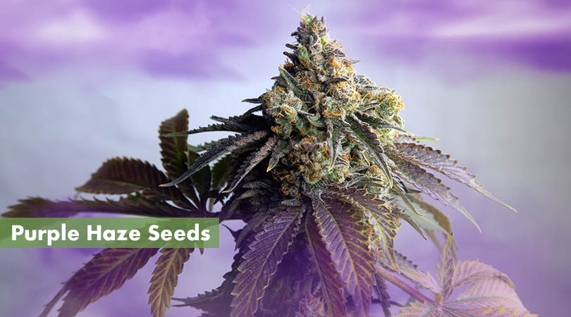 Purple Haze Seeds Main Page Photo