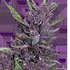 Purple Kush Auto Cannabis Seeds